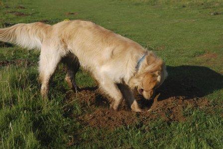 escavando-Retriever