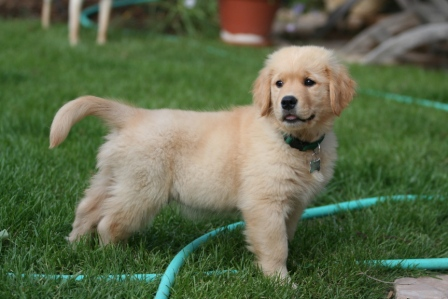 cachorro retriever