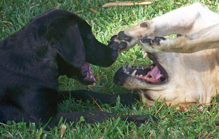 agresion retriever
